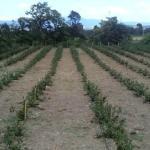 U Moravcu najveće plantaže aronije u Nišavskom okrugu