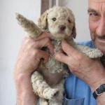 Пас Тартуфар - lagotto romagnolo
