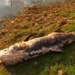 Гомила толстолобика око језера Бован, нико не зна шта се десило