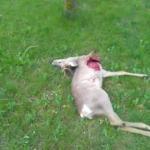 Ubijen srndać i ostavljen pored puta prema Žitkovcu