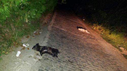 Учестало тровање паса у Алексинцу