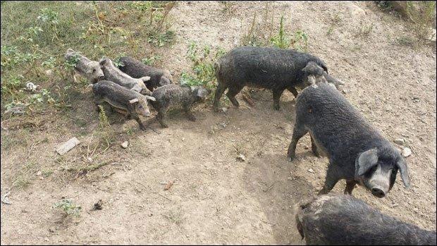 Lovili divlje svinje, ubili mangulice