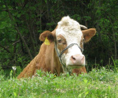 Држава удвостучила субвенције за краву 25.000 динара