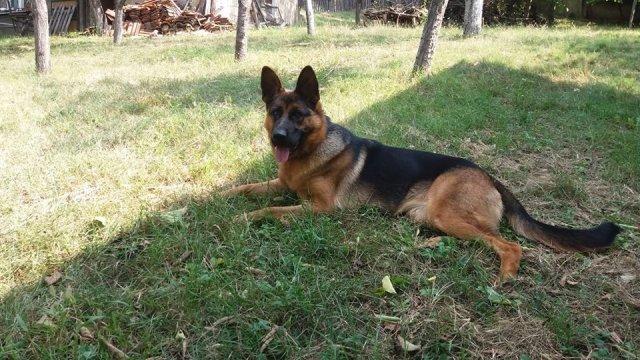 На Алексиначком руднику пронађена два украдена пса