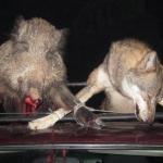 Одстрељени вук и дивља свиња
