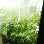 Пронађена лабораторија за марихуану у Алексинцу