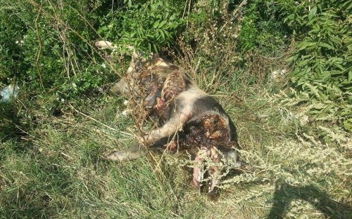 Мртва свиња на улазу у Прћиловицу
