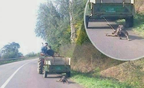Вукли пса за приколицу од трактора