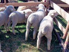 Uzgoj ovaca i koza