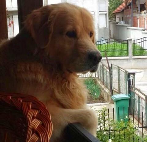 Украден или изгубљен пас, помозите да га нађемо
