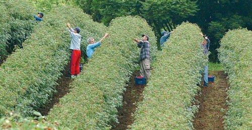 Претукли берача малина у Ариљу