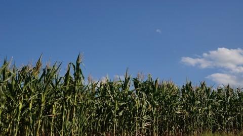Suša odnela više od 50 odsto roda kukuruza