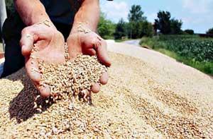 Принос пшенице на Делтиним имањима преко 8 тона по хектару