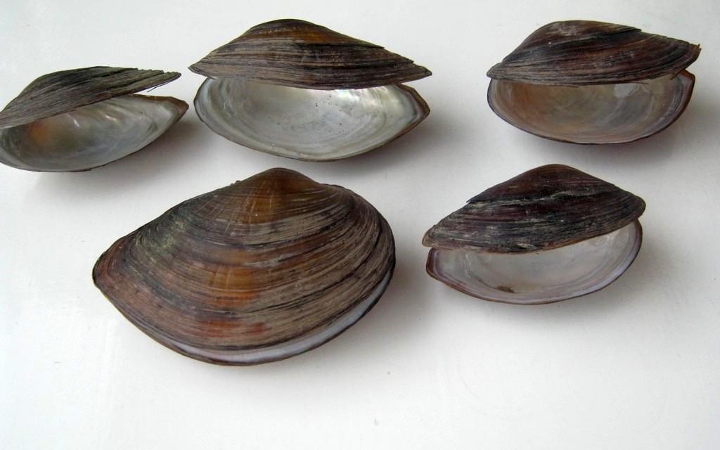 Pomor školjki na Bovanskom jezeru