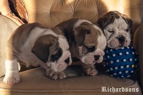 Prodaju se štenci engleskog buldoga šampionskog porekla